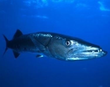 Pesce Barracuda