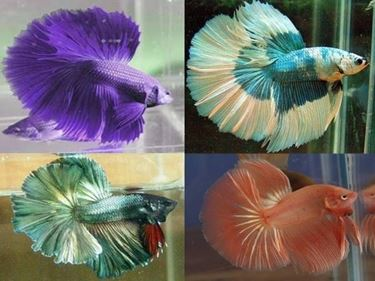 varietà di pesce combattente