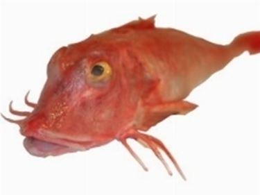 Pesce Gallinella