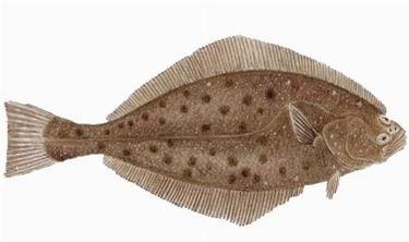 Pesce Halibut