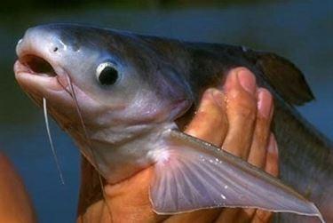 Pesce pangasio