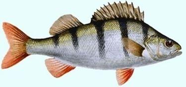 Pesce persico