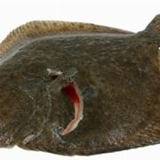 Pesce rombo