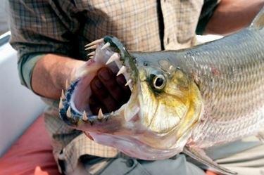 Pesce tigre