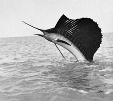 Pesce Vela