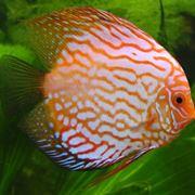 un discus, un pesce che raggiunge dimensioni notevoli