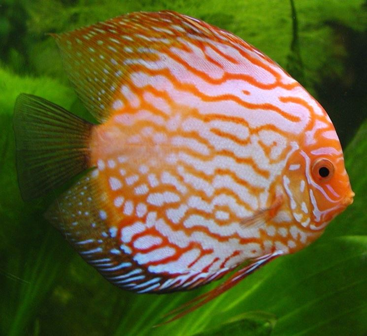 Pesci acqua dolce acquario pesce pesci d 39 acqua dolce for Sfondi pesci tropicali