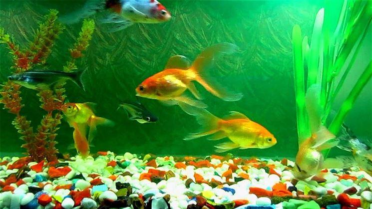 Pesci acqua dolce acquario pesce pesci d 39 acqua dolce for Acquario per pesci