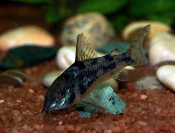 Pesci acqua dolce acquario pesce pesci d 39 acqua dolce for Pesce pulitore acqua dolce fredda
