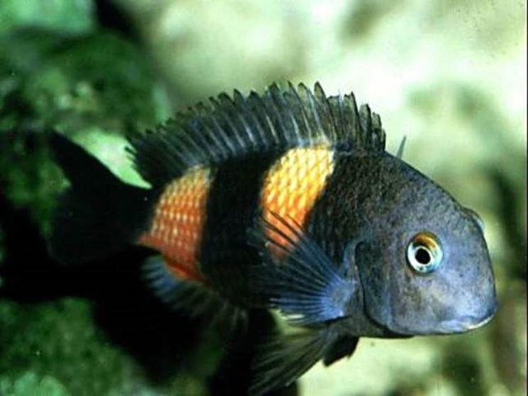 Pesci acquario acqua dolce pesce come scegliere i for Acquario per pesci