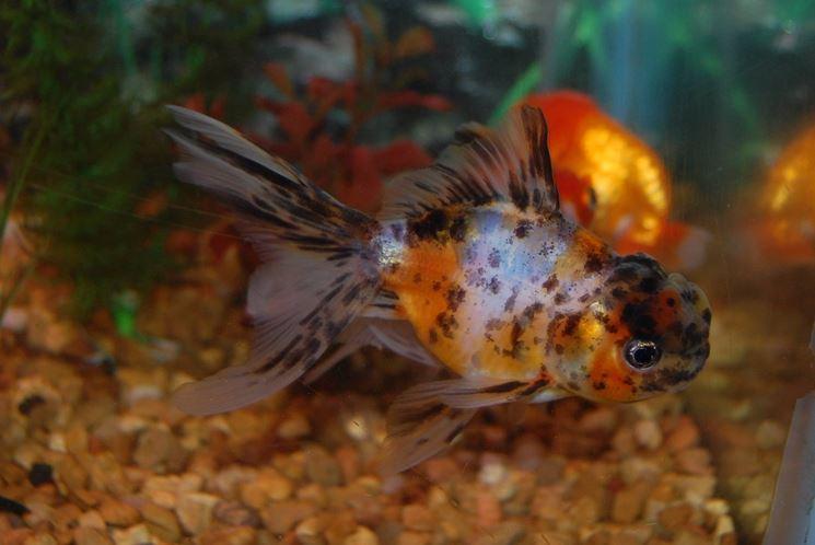 Pesci acquario acqua dolce pesce come scegliere i for Acqua acquario