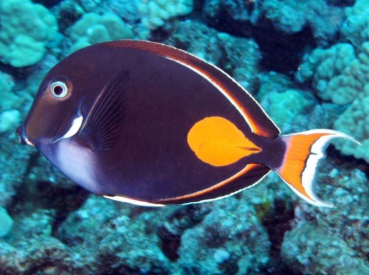 Esemplare di pesce da acquario marino