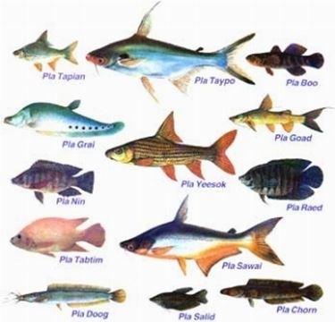 Pesci di fiume pesce - Pesci comuni in tavola ...