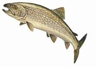 Pesci di lago