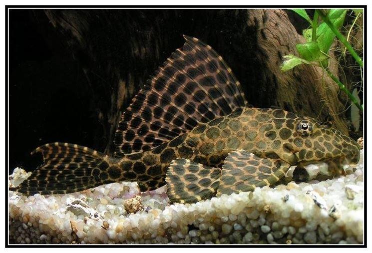 Pesce pulitore acquario