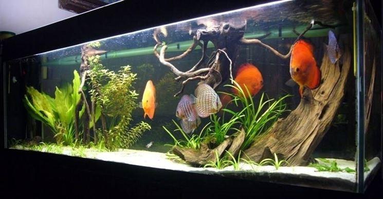 Pesci tropicali acquario pesce come scegliere i pesci for Acqua per acquario