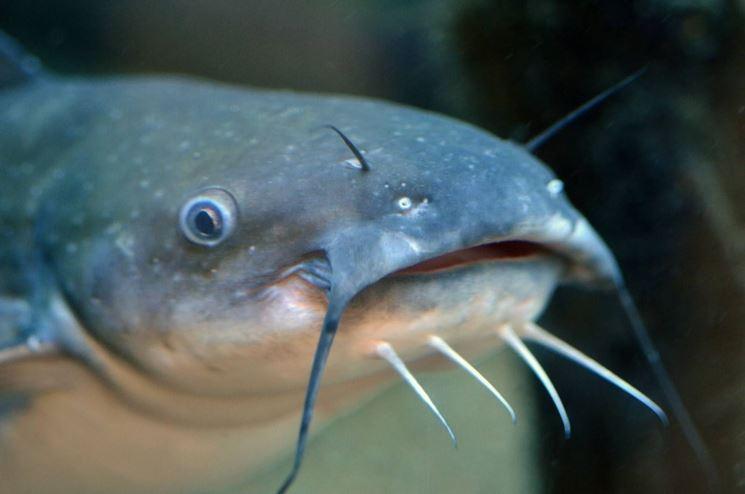 Pesce gatto pesci acquario caratteristiche pesce gatto for Acquario per pesci