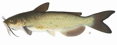 Pesce Gatto Pesci Acquario Caratteristiche Pesce Gatto