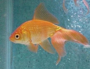 Pesce rosso pesci acquario caratteristiche del pesce rosso for Quanto vivono i pesci rossi