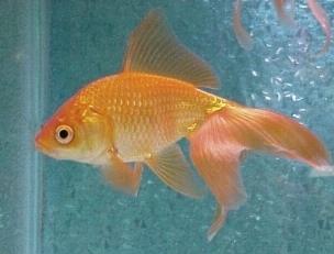 Pesce rosso pesci acquario caratteristiche del pesce rosso for Quanto vive un pesce rosso