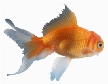 Pesci rossi acquario