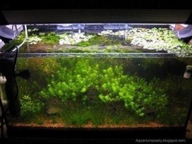 Alghe Acquario