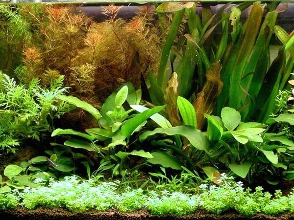 fertilizzante piante acquario piante acquario cura