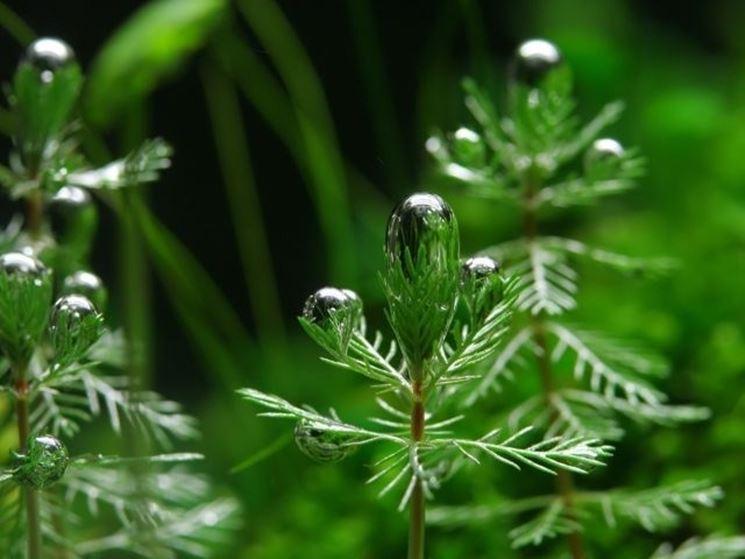 Dettaglio pianta da acquario