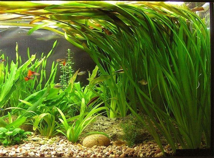 Piante acquario tropicale piante acquario pianta for Contenitore per pesci