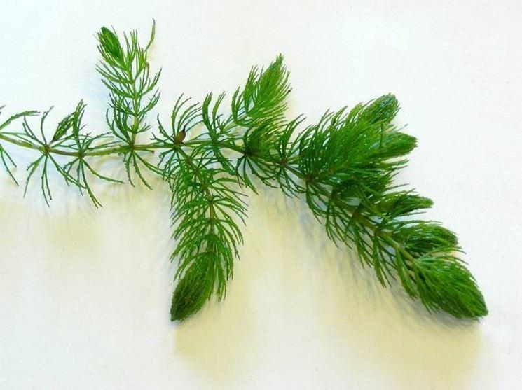 Dettaglio di Ceratophyllum Demersum