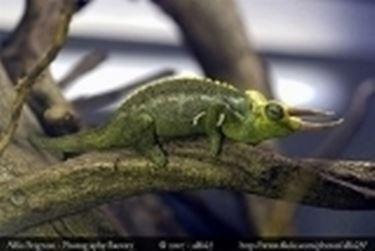 terrario camaleonte