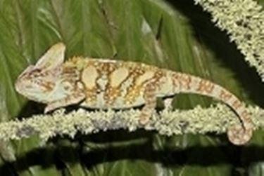 Femmina Calyptratus