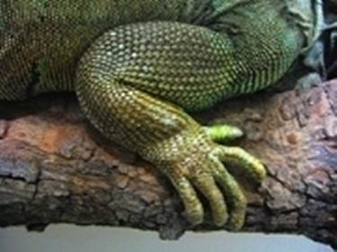 zampa iguana