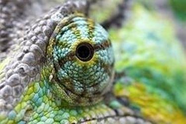 occhio del camaleonte