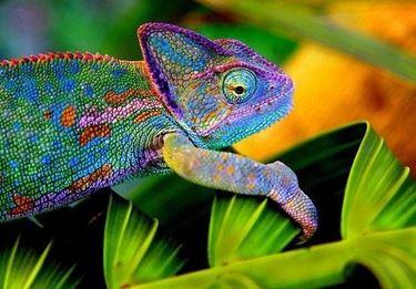 Curiosità camaleonte