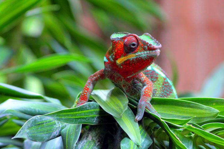 bellissimo camaleonte