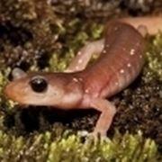 salamandra d acqua