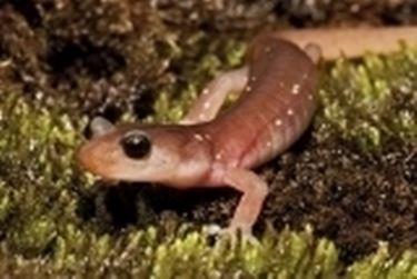 salamandra acquatica