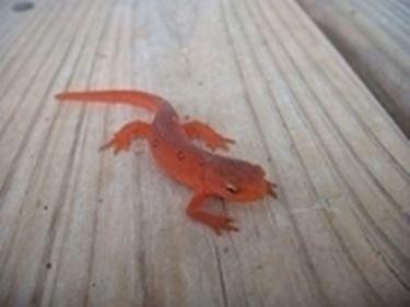 salamandra rossa