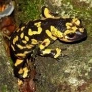 salamandra pezzata
