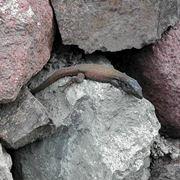 salamandrina dagli occhiali