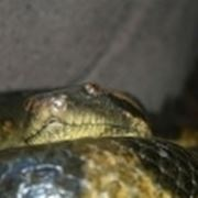 boa serpente