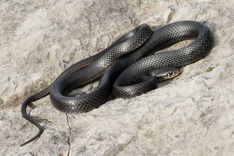Il biacco serpenti caratteristiche biacco for Serpente nero italiano