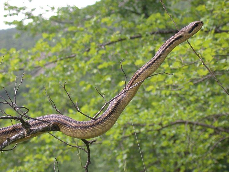 Serpente cervone