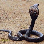 Serpente cobra