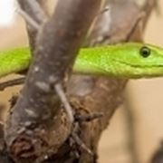 nomi serpenti