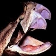 morso vipera