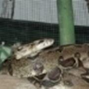 serpenti non velenosi