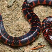 serpenti italiani