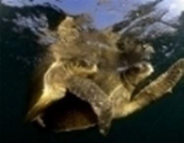 Accoppiamento tartarughe tartarughe for Tartaruga di terra maschio o femmina